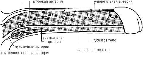 Кровоснабжение пениса