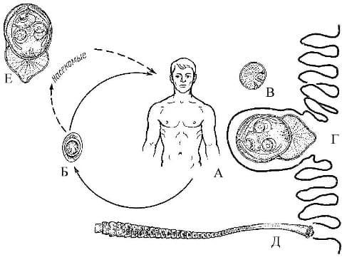 Гименолепидоз, цикл развития карликового цепня