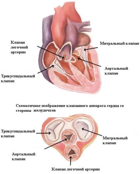 smk01 - Митрална стеноза, какво е това, симптоми на аномалии във функционирането на сърдечната клапа,