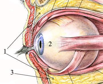 Анатомия глазницы